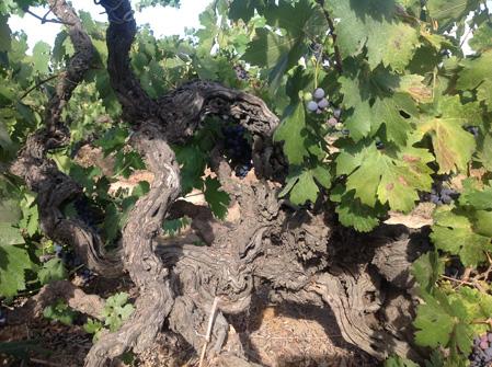 酒庄的葡萄树年龄平均在50年以上
